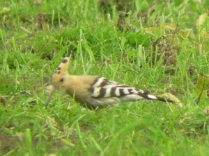 Hoopoe at Dunnington