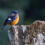 Blue-capped Rock-thrush