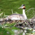 Great Crested Grebe, Hes West © John Lawton, July 2013