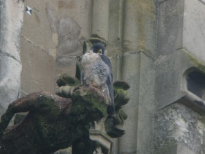 Male Peregrine, Minster © Jack Ashton-Booth, Nov 2014