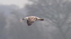 Caspian Gull, Rufforth © Tim Jones, Feb 2015