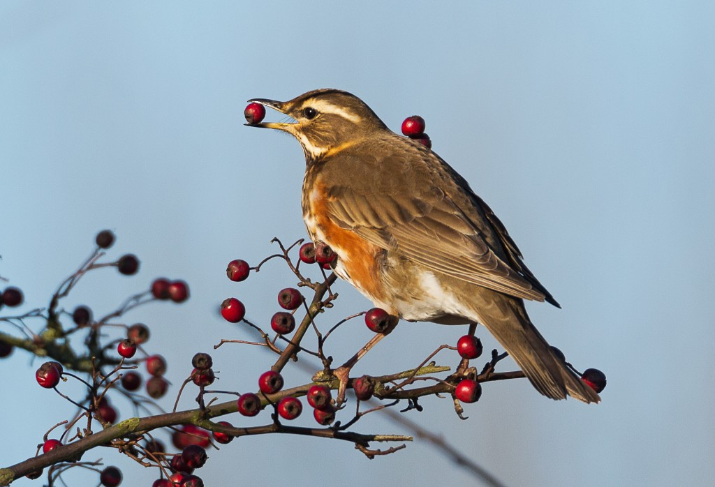 2015 Photographic Competition Winner Redwing by Antony Ward