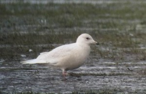 Iceland Gull, Rufforth Feb 2016 © Tim Jones