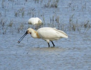 Spoonbill, Cley Marshes © Jane Chapman, May 2016