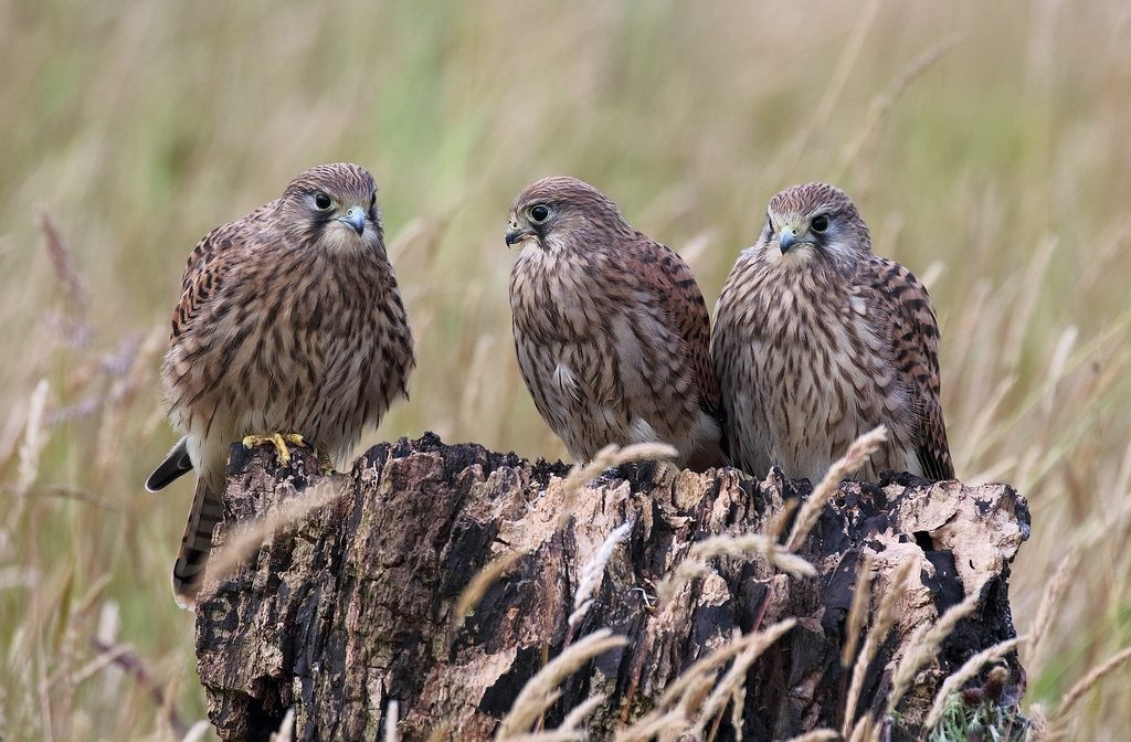 York area category winner: Kestrels © Terry Weston